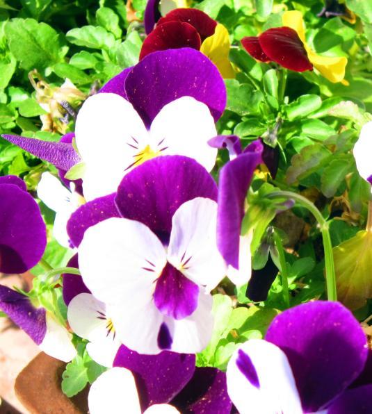 6.4.2013 violette2