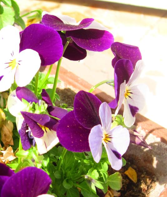 6.4.2013 violette3
