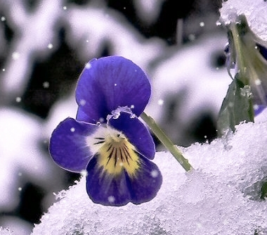 viola nella neve