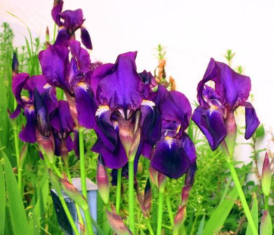 17 iris