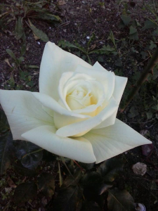 rosa bianca per nonna