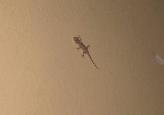 2 geco sul muro
