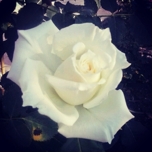 4 rosa da Massimo