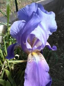 Iris da Adam