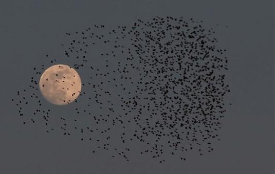 Luna piena e rondini