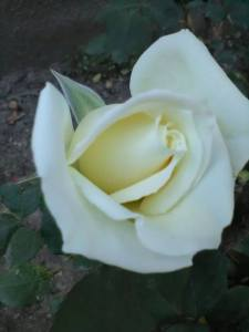 rosa bianca da Adam