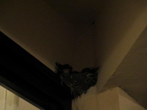 15 agosto 2016 nido di rondini