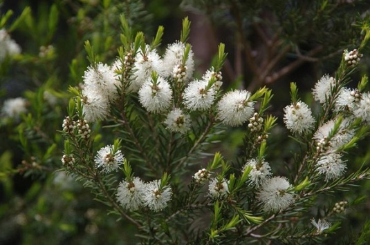 fiori-tea-tree-oil