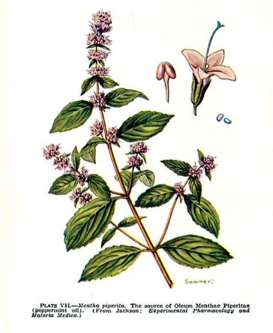 mentha-piperita