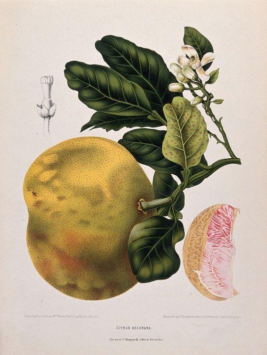 pummelo_or_pamplemousse_citrus_maxima_burm-_merr-_flowe_wellcome_v0042686