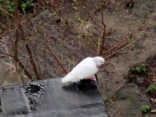5-marzo-2017-colomba-e-pioggia