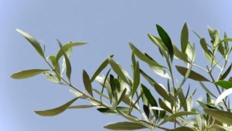 olivo o