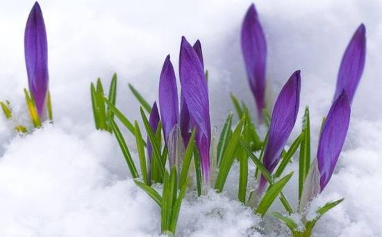 fiori viola nella neve